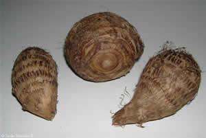 Colocasia roots