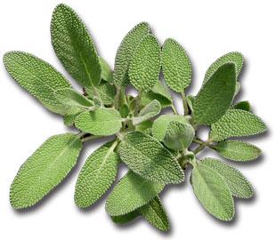 Sage - Faskomilo Herb